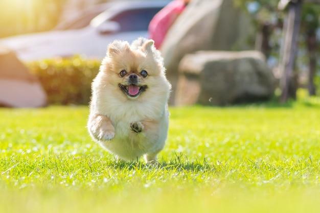 Śliczne szczenięta pomorskiej rasy mieszanej pies pekińczyk biegają na trawie ze szczęścia