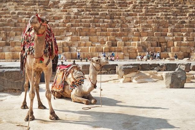 Śliczne wielbłądy w pobliżu piramidy na płaskowyżu gizy