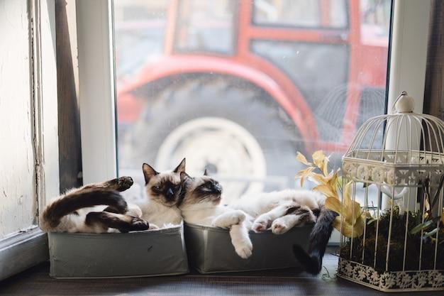 Śliczni syjamscy koty kłama w pudełkach blisko okno