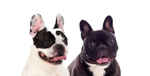 Ślicznie wyglądające czarno-białe psy buldoga francuskiego na białym tle