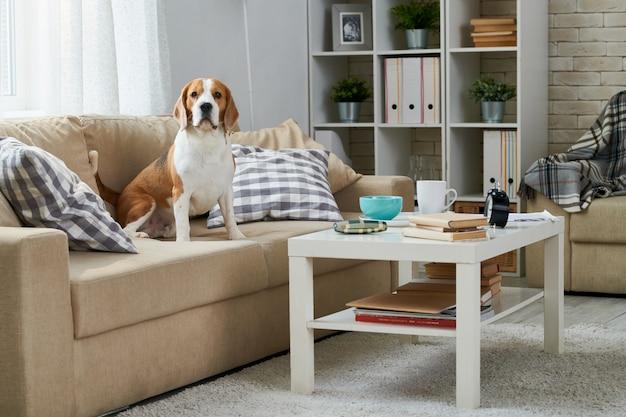 Śliczny beagle obsiadanie na kanapie