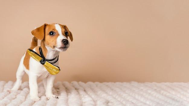 Śliczny beagle w żółtej kokardce