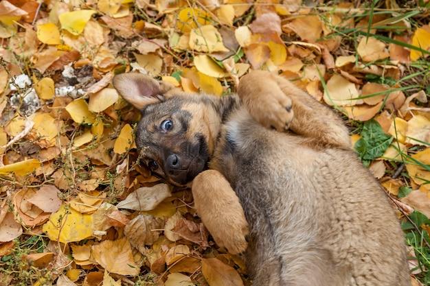 Śliczny bezdomny szczeniak bawiący się w żółtych liściach