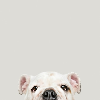 Śliczny biały buldoga szczeniaka portret