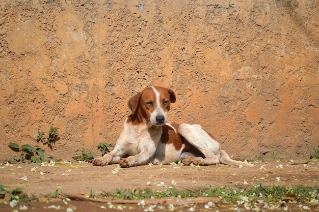 Śliczny biały i brązowy pies terier siedzący na ulicy