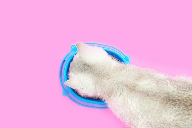 Śliczny biały kot brytyjski zjada suchą karmę. niebieska miska.