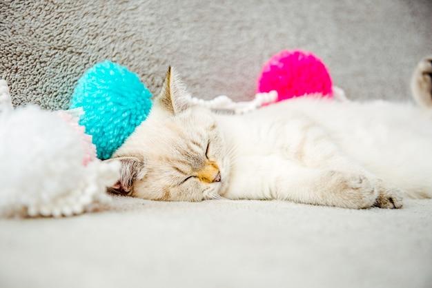 Śliczny biały kotek brytyjski śpi na kanapie w kolorowych pomponach