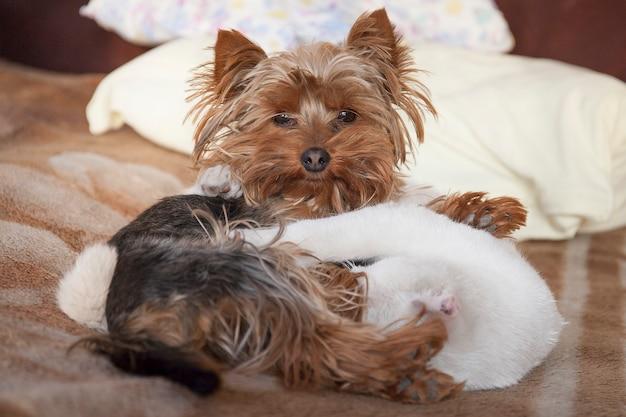 Śliczny biały kotek i mały piesek yorkshire terrier śpią obok siebie