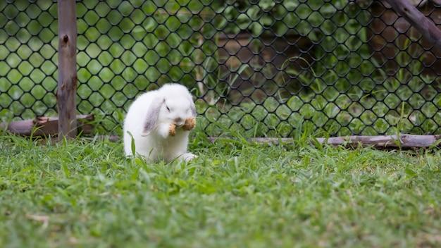 Śliczny biały królik czyszczenie się na łące. szczęśliwy królik bawi się na zewnątrz. przyjaźń z króliczkiem wielkanocnym.