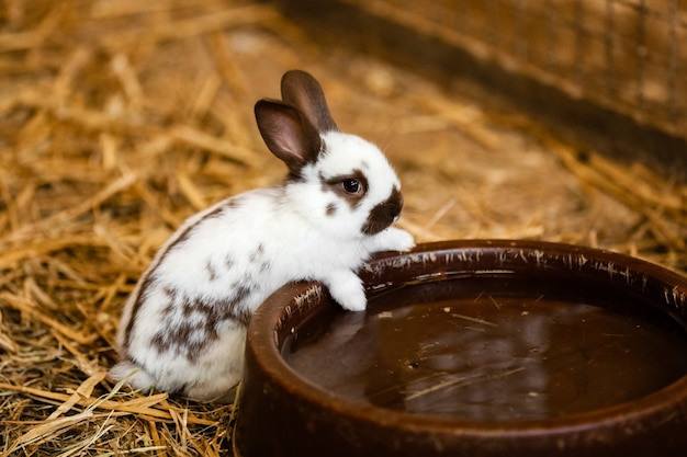Śliczny biały królik zje wodę z tacy na ceglanej podłodze i