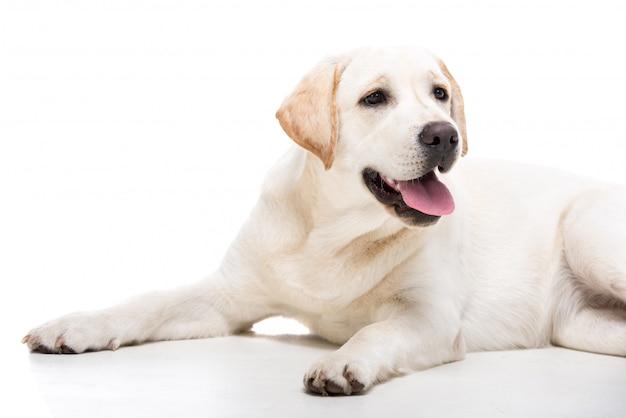 Śliczny biały labrador retriever pies