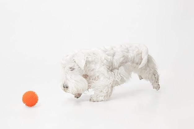 Śliczny biały mały piesek lub zwierzę bawi się pomarańczową piłką na białym tle na białej ścianie