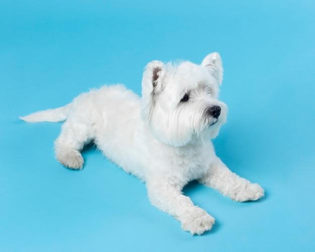 Śliczny biały mały szczeniak na niebieskim tle