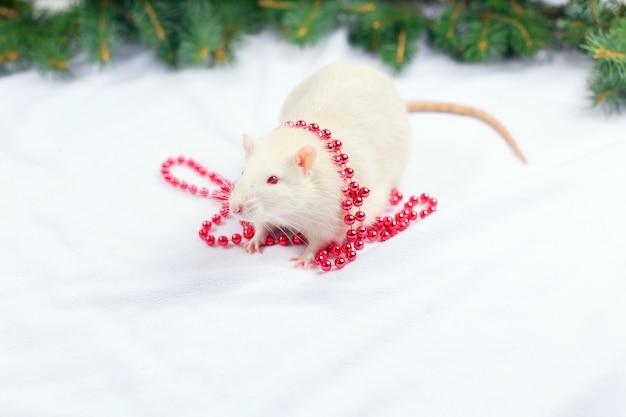 Śliczny biały szczur w czerwonych bożych narodzeń koralikach