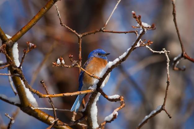 Śliczny bluebird w drzewie z śniegiem