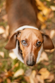 Śliczny brązowy jamnik pies z beżową obrożą