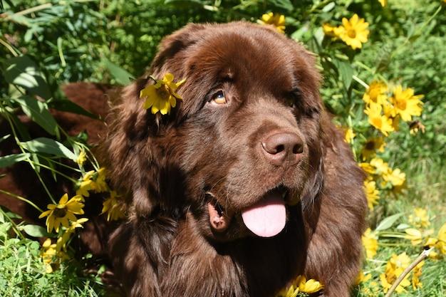 Śliczny brązowy pies nowofundlandzki w ogrodzie kwiatowym z wywieszonym językiem.