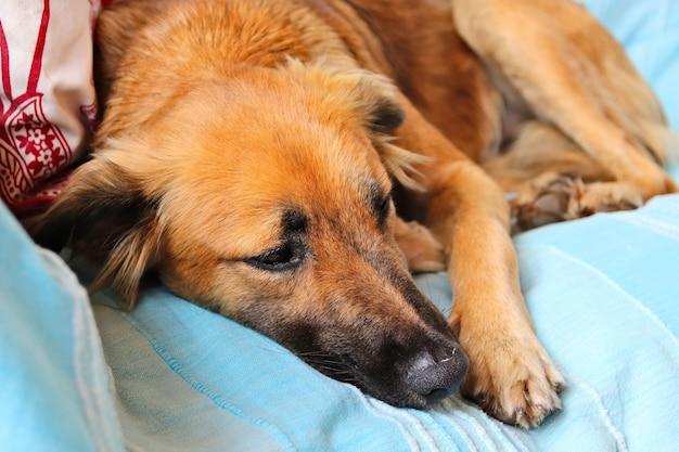 Śliczny brązowy pies śpi spokojnie na niebieskiej poszewce sofy