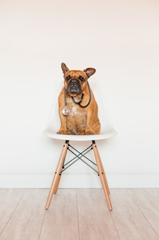Śliczny brown francuskiego buldoga obsiadanie na krześle w domu. noszenie stetoskopu weterynarza. opieka nad zwierzętami i koncepcja lekarza weterynarii