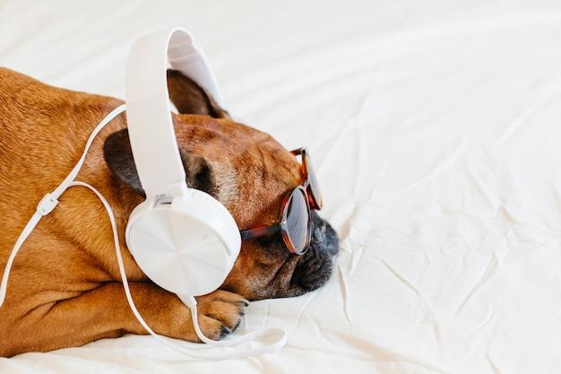 Śliczny brown francuskiego buldoga obsiadanie na łóżku w domu i. śmieszny pies słucha muzyka na białym słuchawki. zwierzęta domowe i styl życia. technologia i muzyka