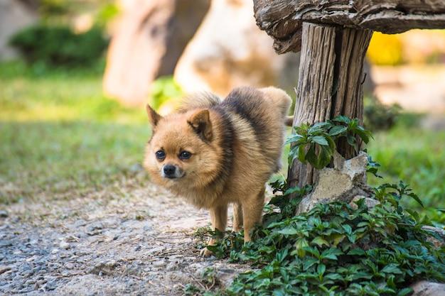 Śliczny chihuahua oddawał mocz na drewnianym stole w domu ogródzie.