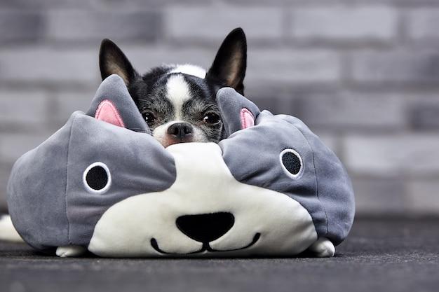 Śliczny chihuahua szczeniak z dużą zabawką