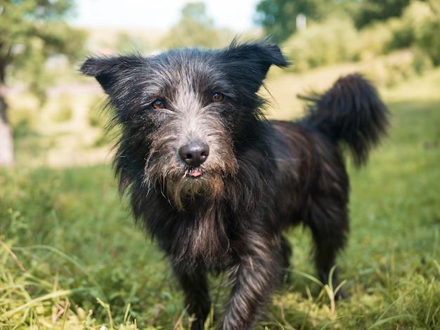 Śliczny czarny pies terier bawi się na zielonym trawiastym polu