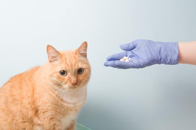Śliczny czerwony kot i ręka w jednorazowej gumowej rękawiczce sney na niebieskiej ścianie