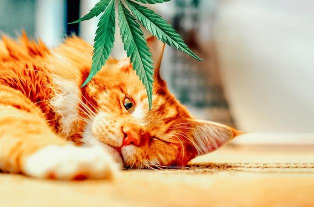 Śliczny czerwony kotek z uśmiechem śpi, liście konopi