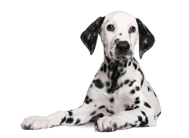 Śliczny dalmatyński szczeniaka portret odizolowywający