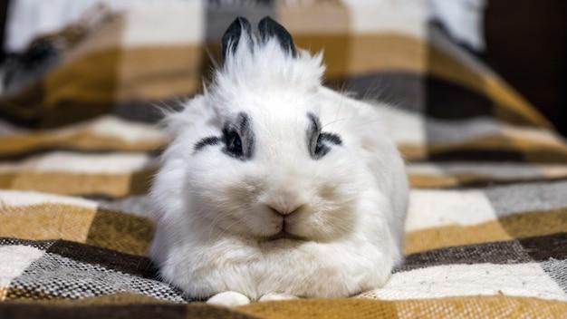 Śliczny dekoracyjny królik miniaturowy na kanapie. soczi, rosja.
