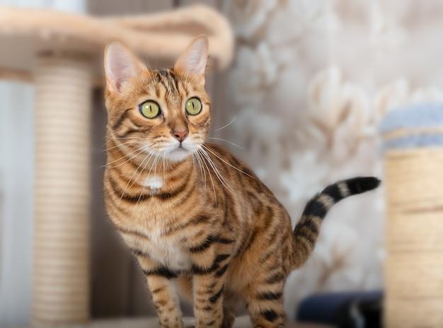Śliczny domowy kot bengalski i drzewo kota w pokoju