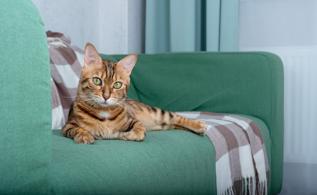 Śliczny domowy kot bengalski leżący na zielonej kanapie w salonie