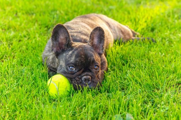 Śliczny domowy pies pręgowany rasy buldog francuski