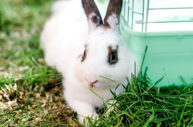 Śliczny dorosły biały królika królik siedzi na trawie
