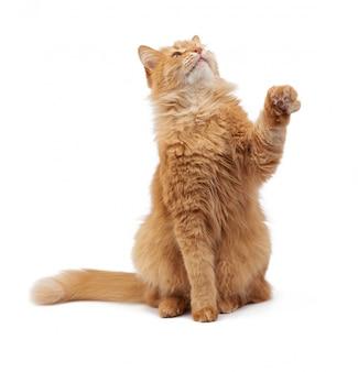 Śliczny dorosły puszysty czerwony kot siedzi i podnosi jego przednie łapy w górę