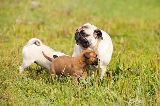 Śliczny drania malinois szczeniak i bullmastiff bawić się z mopsa szczeniakiem