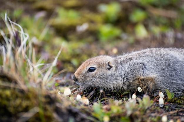 Śliczny dziki gopher w trawie