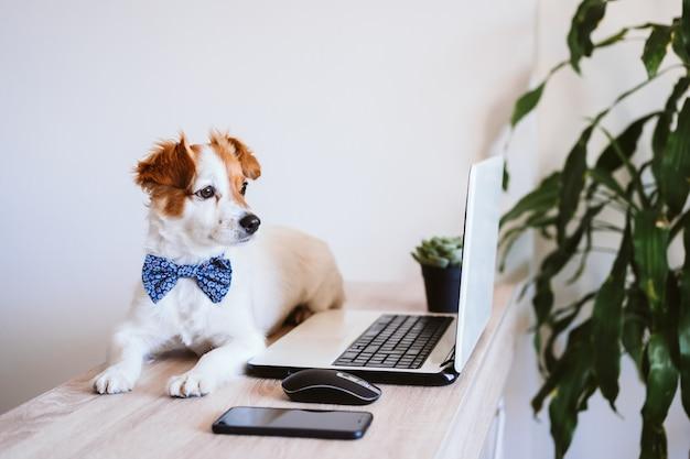 Śliczny dźwigarki russell pies pracuje na laptopie w domu. elegancki pies w muszce. zostań w domu. technologia i koncepcja wnętrz