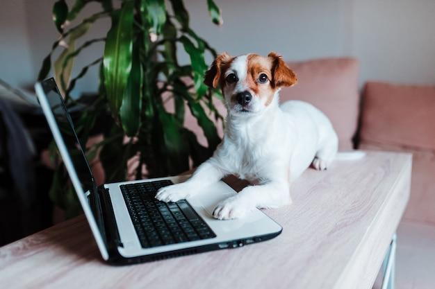 Śliczny dźwigarki russell pies pracuje na laptopie w domu. koncepcja technologii