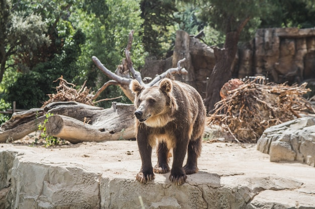Śliczny europejski niedźwiedź czeka jedzenie na kamieniach