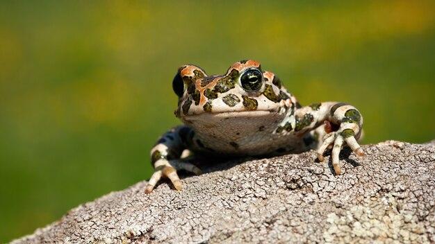 Śliczny europejski zielony kumak zerkający out z nogami i palcami na gałąź.