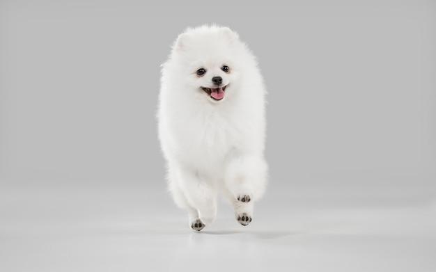 Śliczny figlarny biały piesek lub zwierzak grający na szarym studio