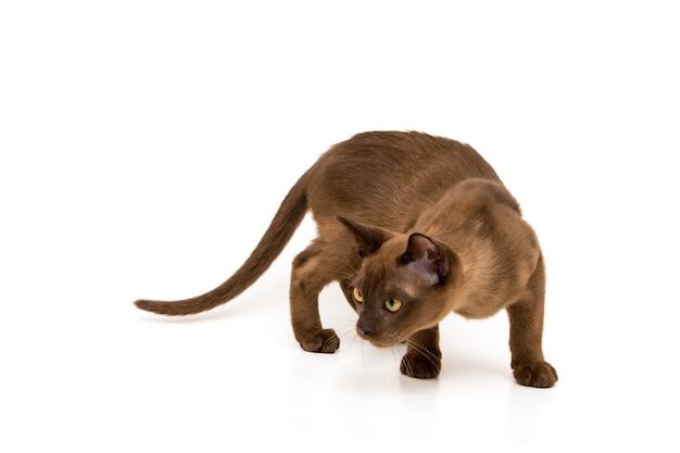 Śliczny figlarny kotek rasy birmańskiej w kolorze czekolady.