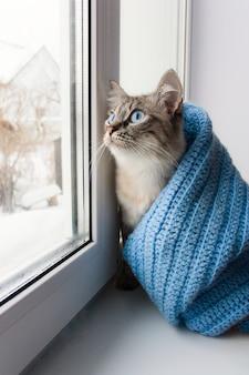 Śliczny flaffy kot o niebieskich oczach pokryty niebieskim dzianinowym szalikiem i siedzący na parapecie okna