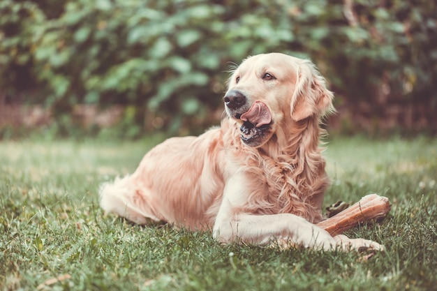 Śliczny golden retriever bawiący się / jedzący kością składa się ze skóry wieprzowej w ogromnym ogrodzie i wygląda na szczęśliwego