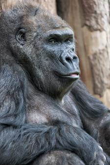 Śliczny goryla portreta obsiadanie na ziemi