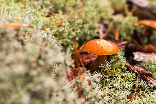 Śliczny grzyb kok grosza rośnie na trawie. w centrum uwagi znajduje się piękna mała brązowa czapka cepa.