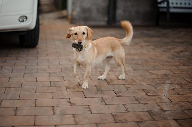 Śliczny i szczęśliwy beżowy pies bawi się kamieniem na podwórku w letni dzień