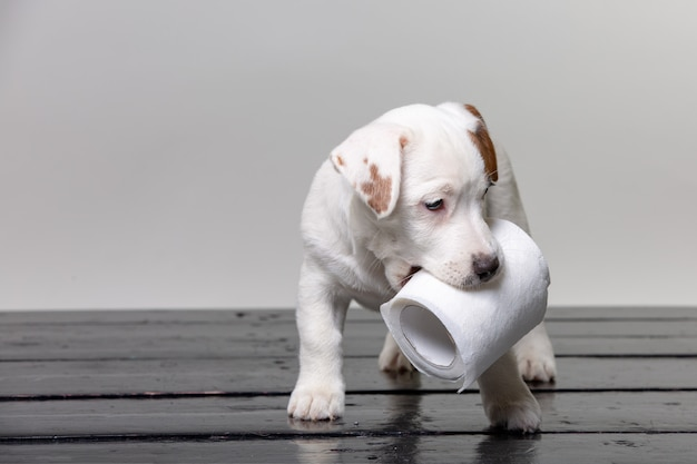 Śliczny jack russel szczeniak bawić się z papierem toaletowym